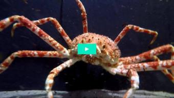 Se verdens største krabbeart