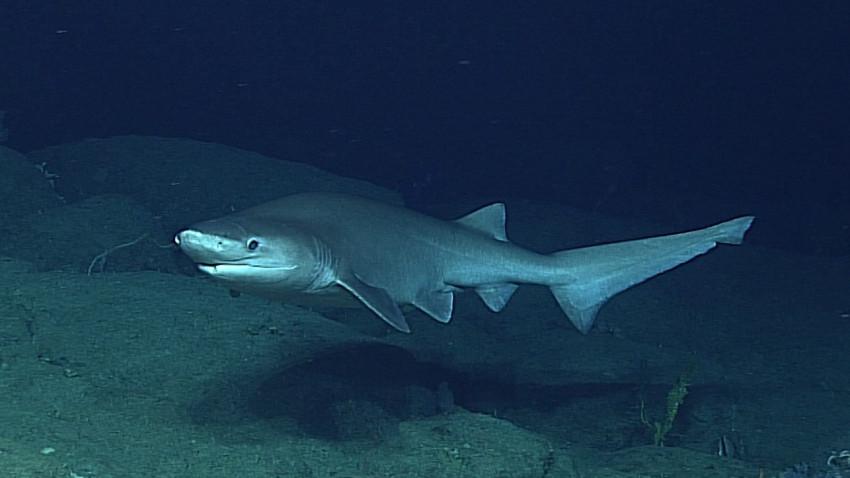 Sensation! Stor haj fanget for første gang i Danmark
