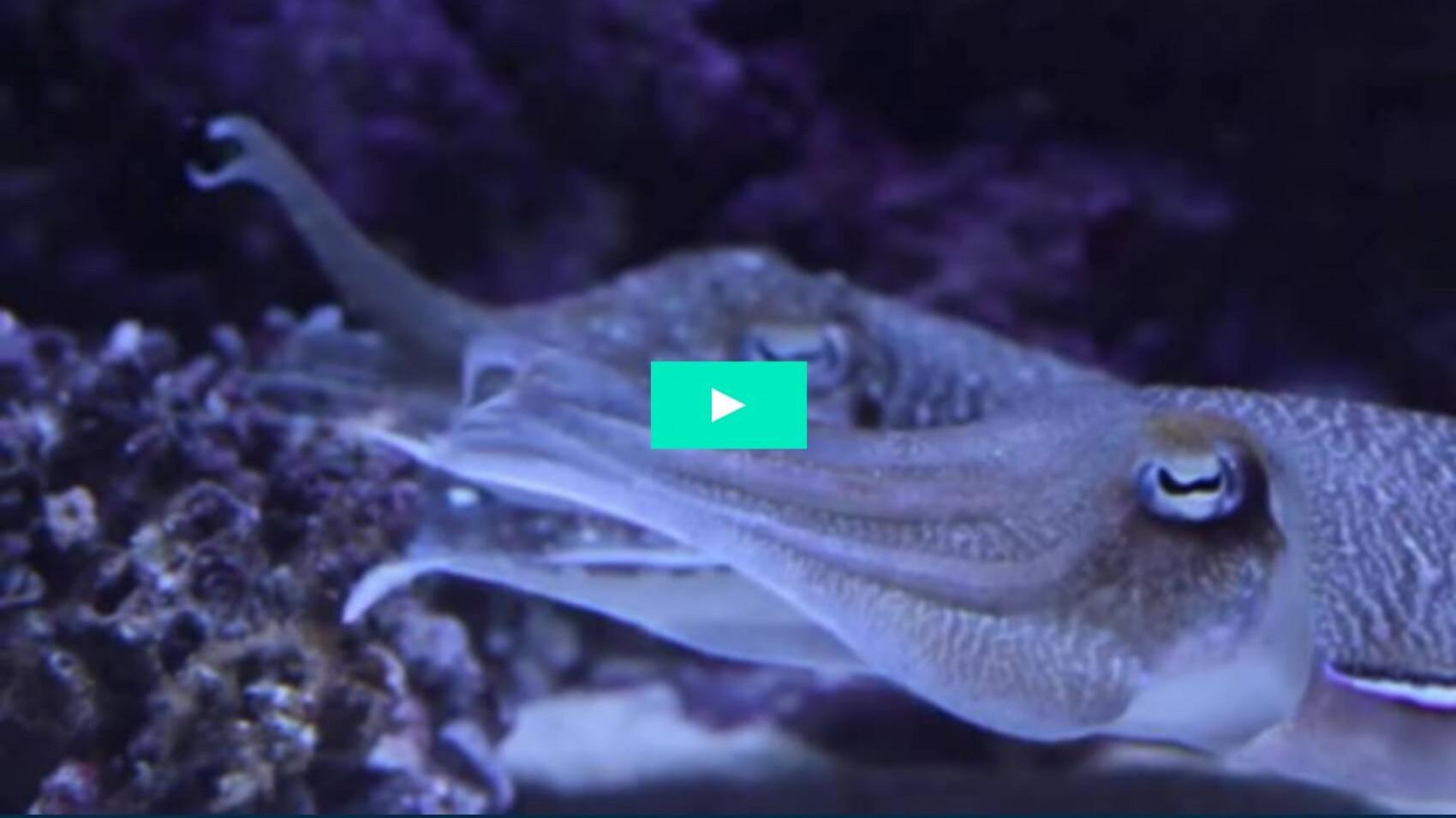 Havets superhelt: Sepiablæksprutten