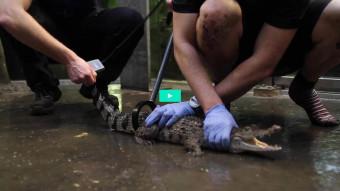 Crossfit med krokodiller