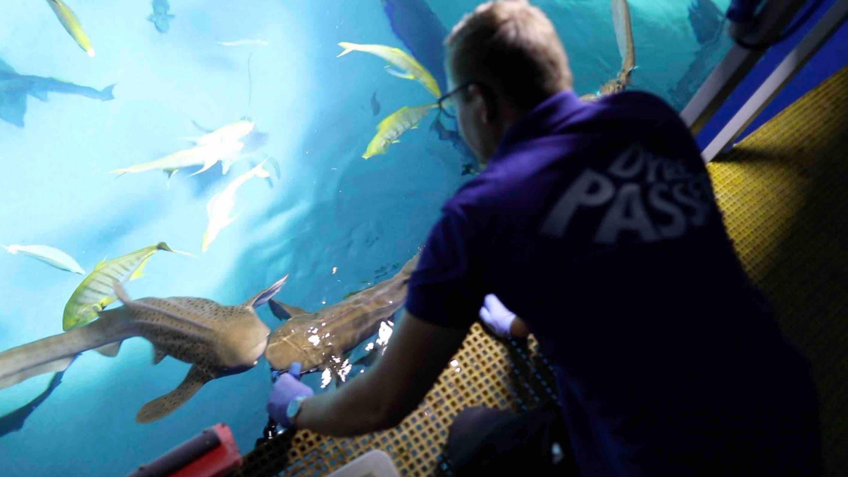 Se dyrepasserne komme helt tæt på hajernes bisser