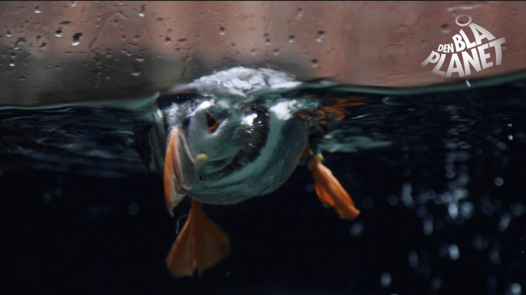 Lunder er som fisk i vandet
