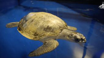 Den Blå Planet har modtaget to meget syge havskildpadder