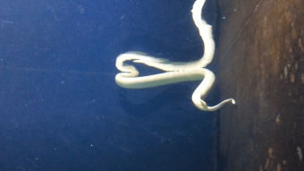 Giftig havslange føder unger