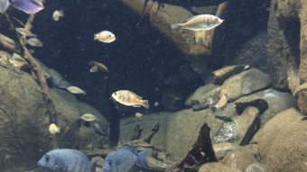 Fisk i fangelejr redder arten