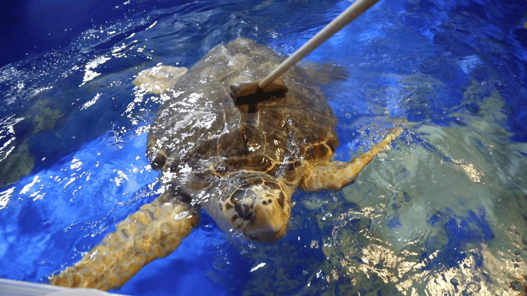 Rygmassage til havskildpadden
