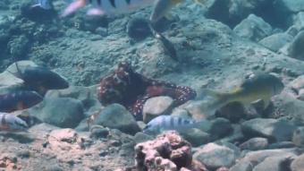 Blæksprutter er set slå fisk - måske for at sætte dem på plads