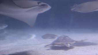 Den lille havskildpadde er på ferie i det tropiske rørebassin