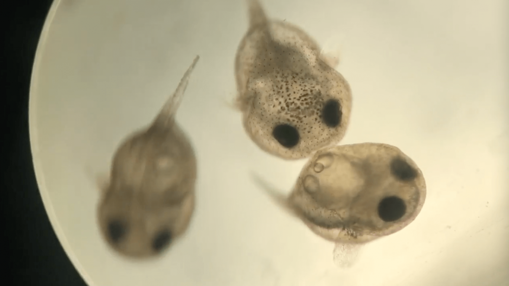 Familieforøgelse hos pindsvinefiskene
