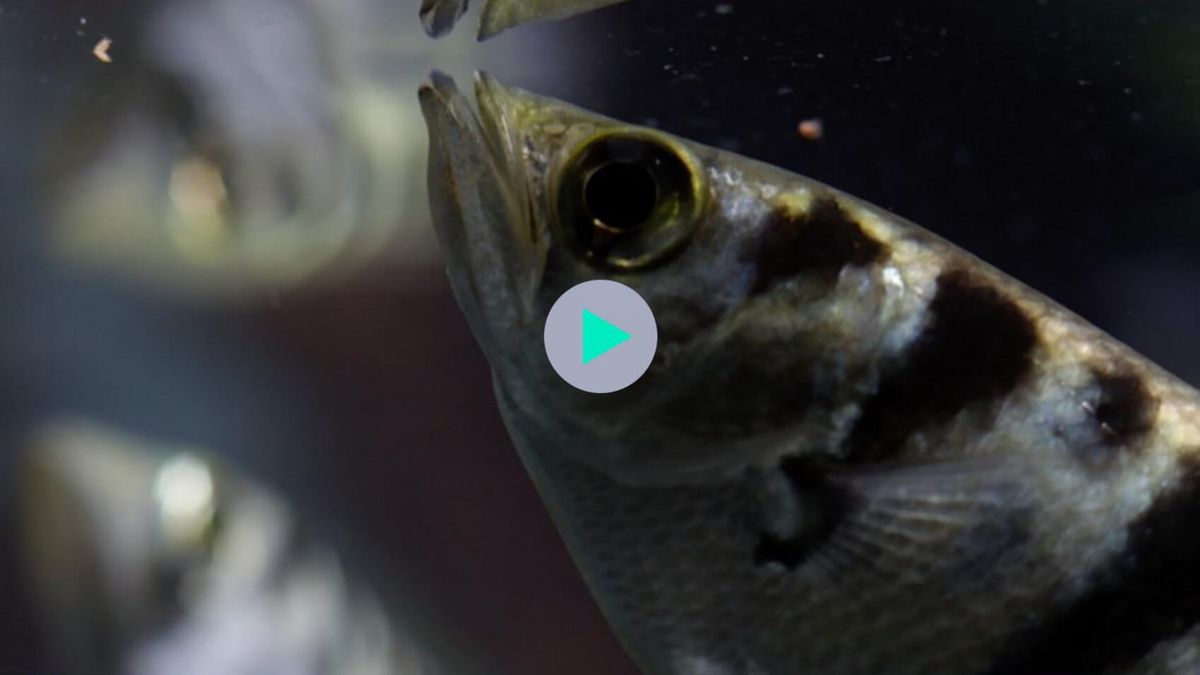 Skyttefisk har indbyggede vandpistoler!