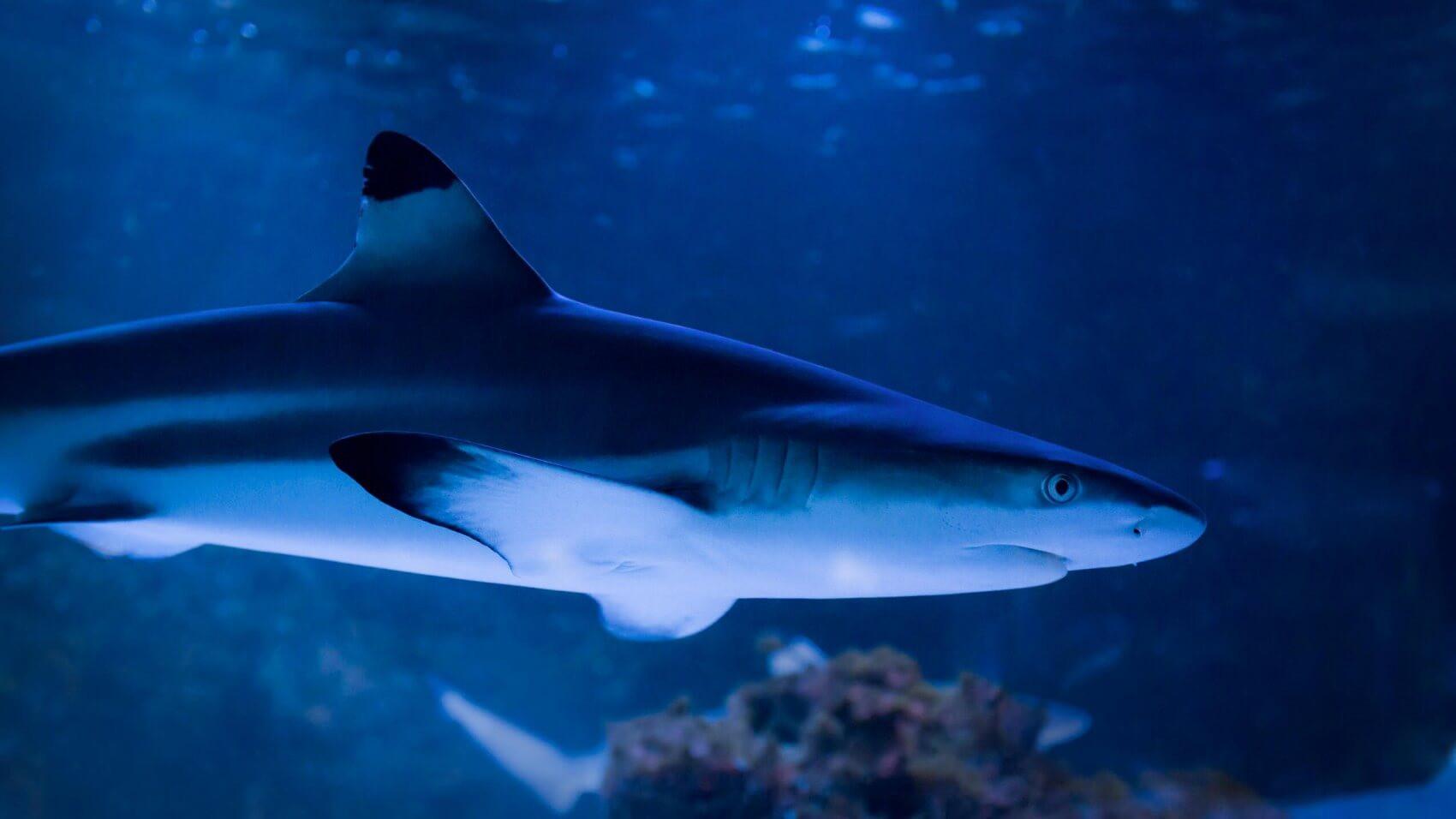 Oceanet på Den Blå Planet er blevet to hajer rigere