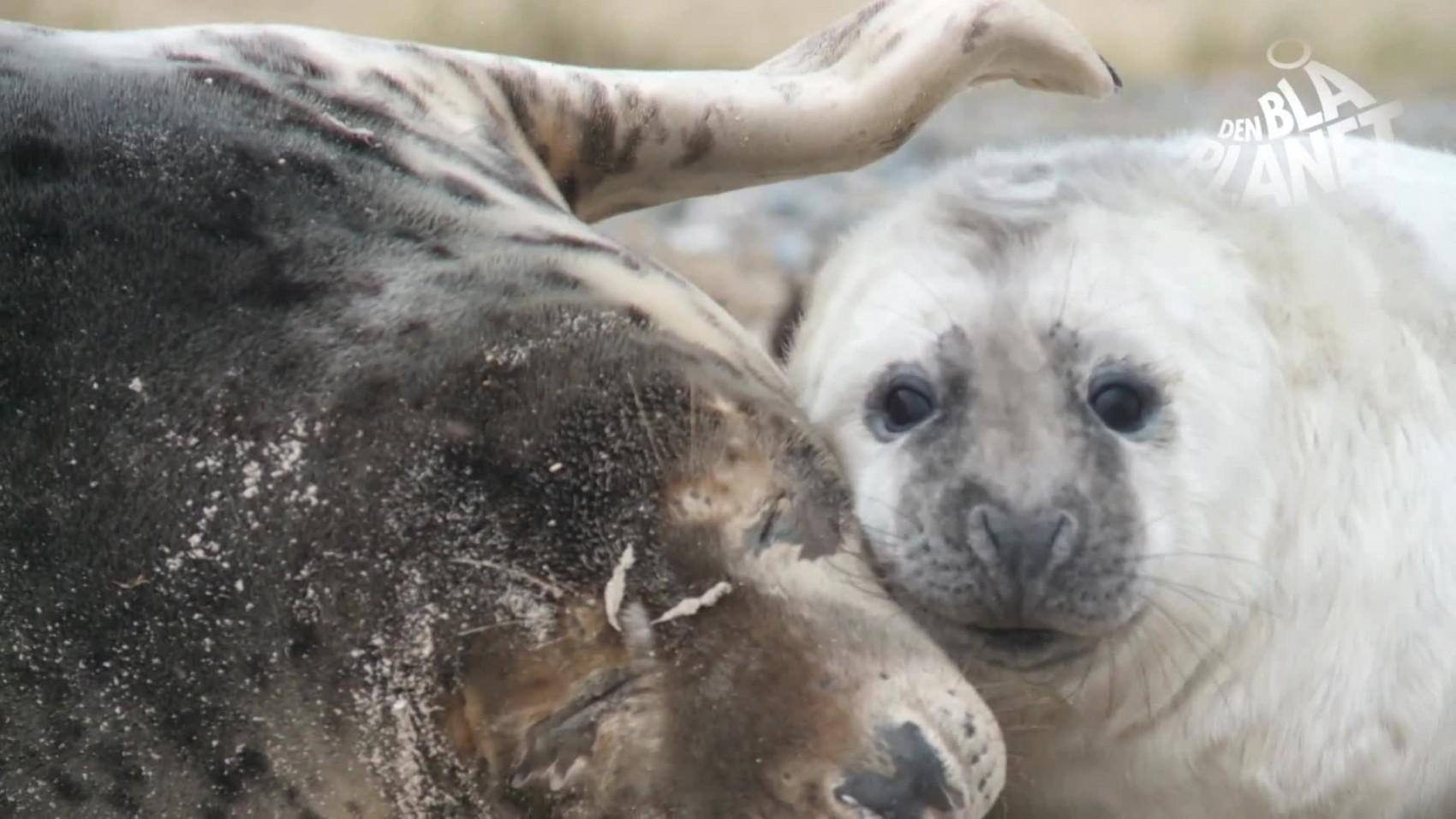 Særsyn på Stevns: død babysæl i strandkanten