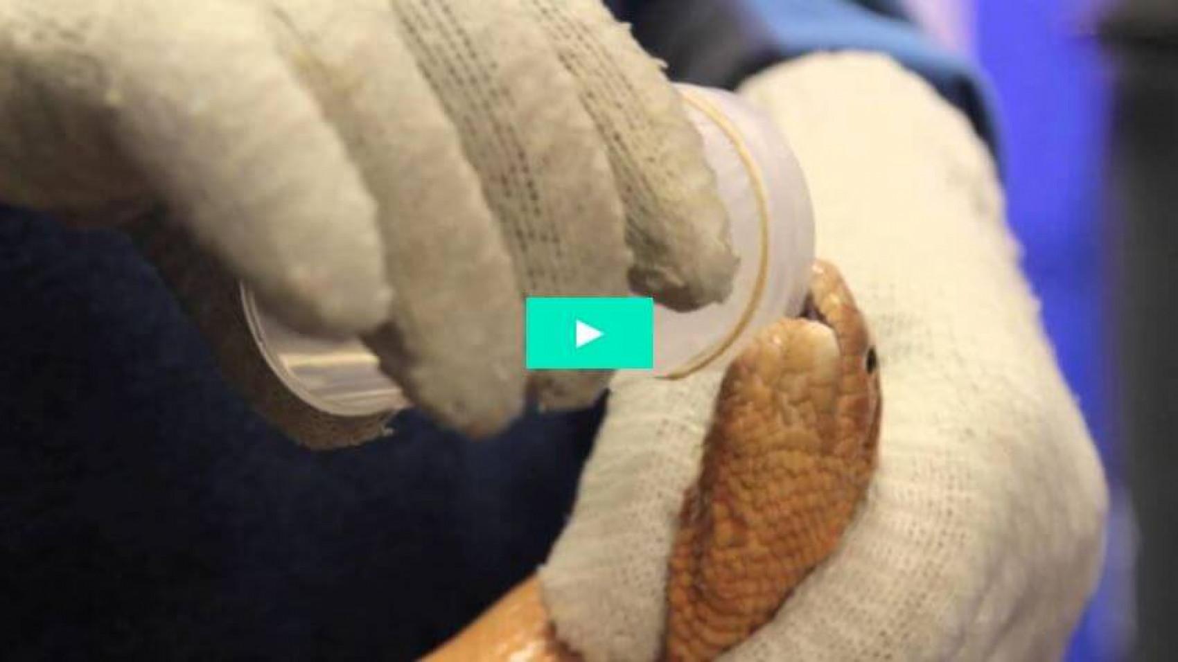 Tapning af giftige havslanger har båret frugt