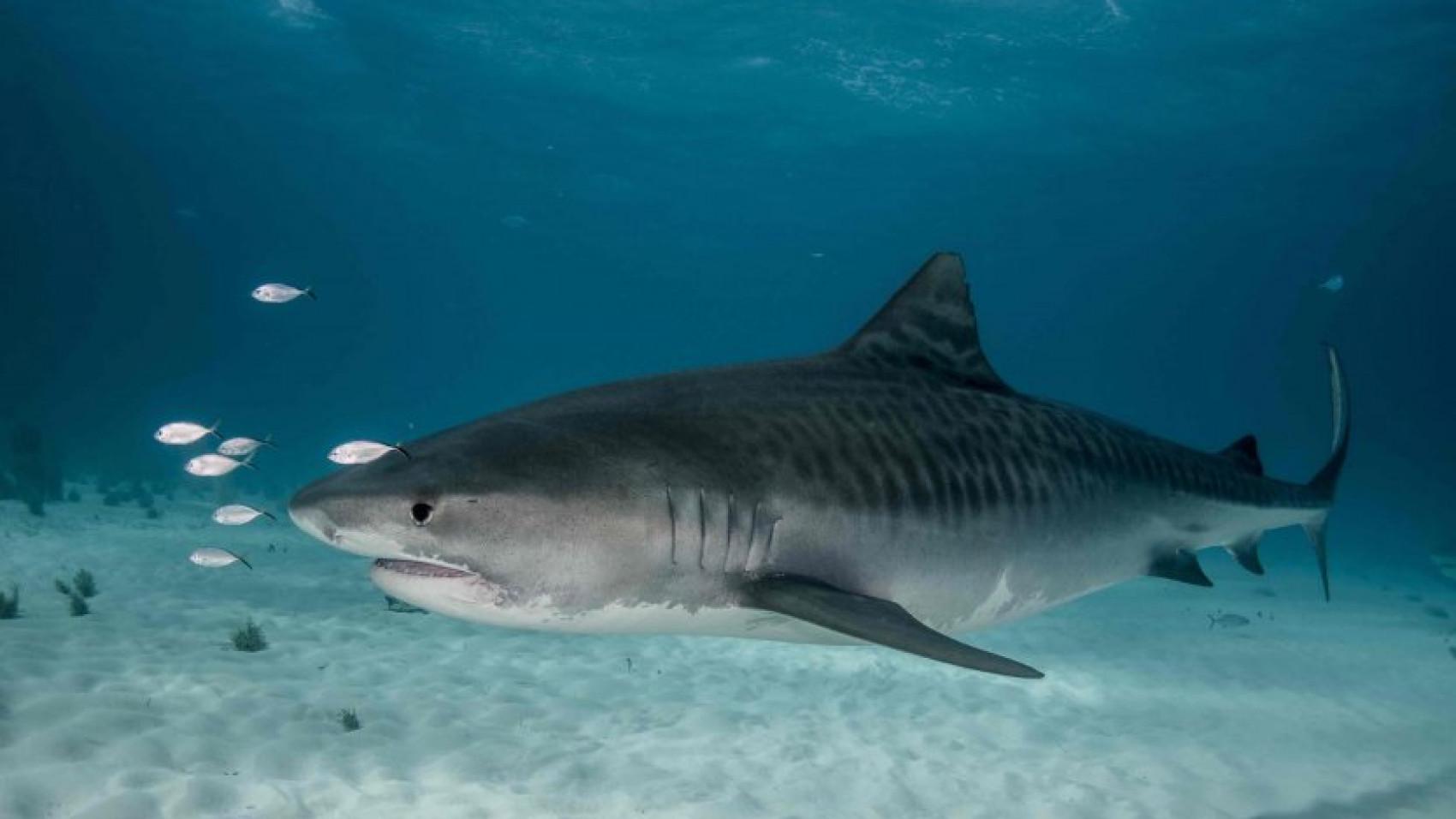 Skal vi frygte hajer mere efter fatalt angreb?