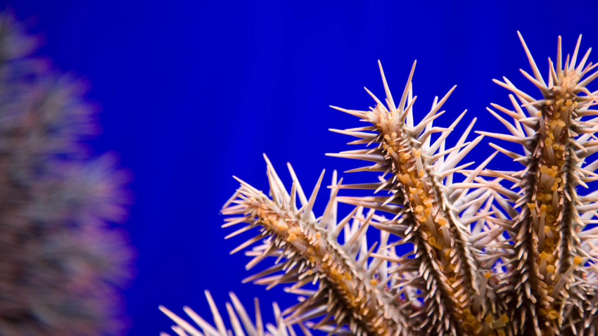Crown-of-thorns starfish – the spiny enemy of the coral reef