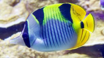 Fisk i døende koralrev kan gøre skaderne værre