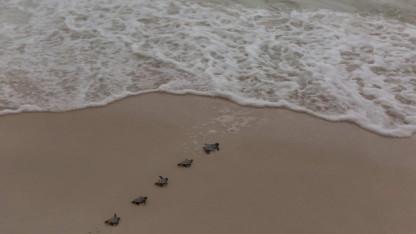 Fantastisk! Studie viser fremgang for havskildpadder