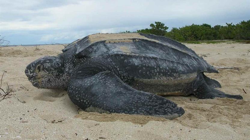 Læderskildpadden er verdens største marine skildpadde. (Foto: © Creative Commons © Creative Commons)