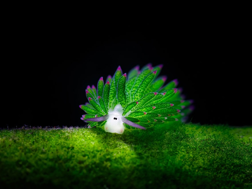 leaf-sheep-sea-slug-costasiella-kuroshimae-1
