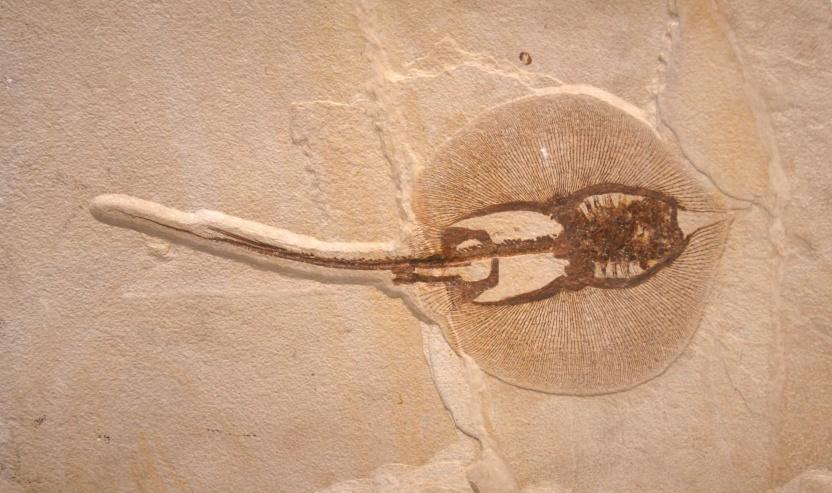Rokke fossil