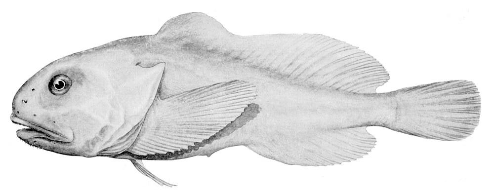 blobfisk