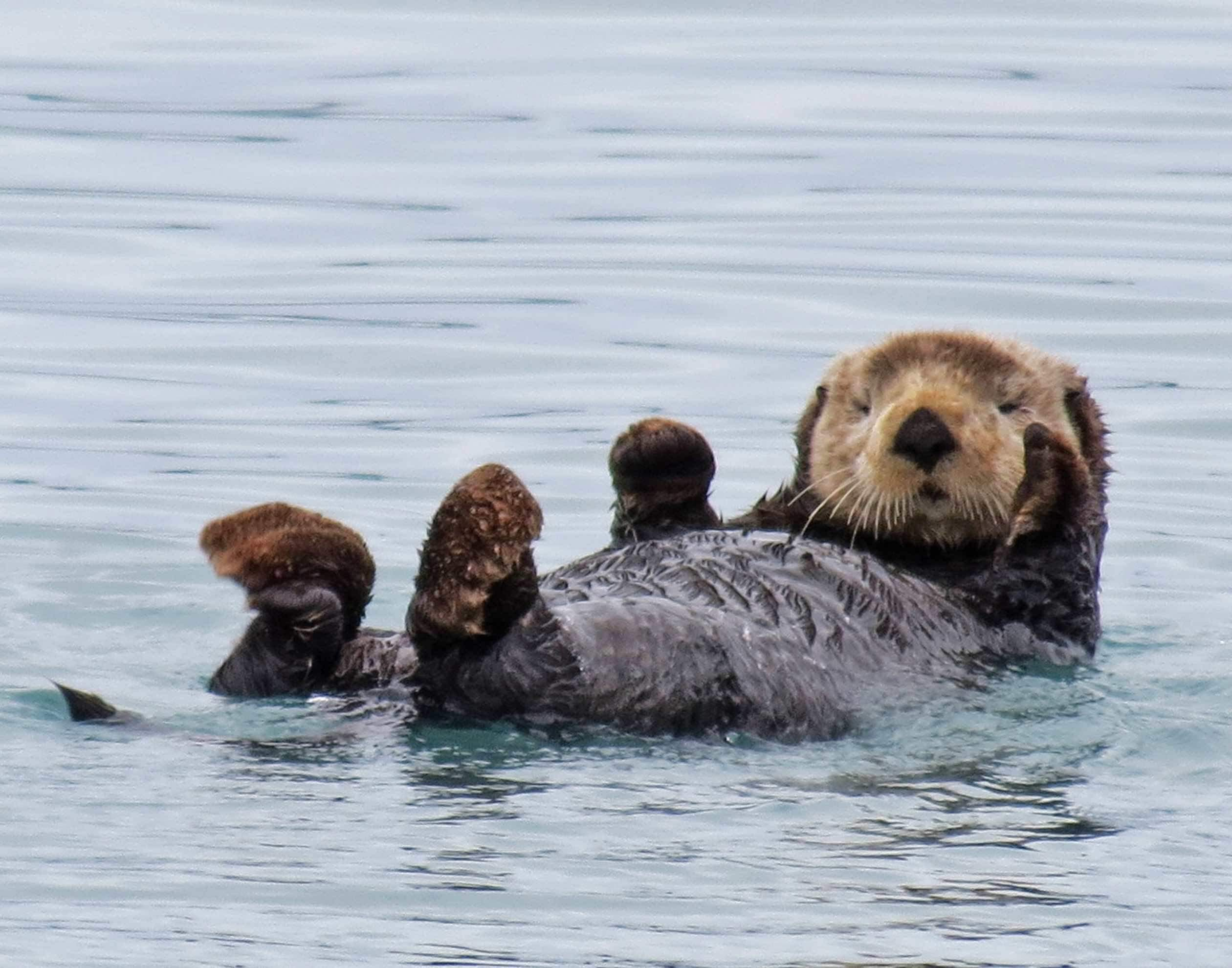 An Alaskan Sea Otter floats on its back in a fiord, looking directly at the camera.
